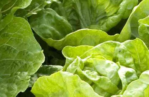 Lettuce Possible Culprit Behind E. coli Outbreak