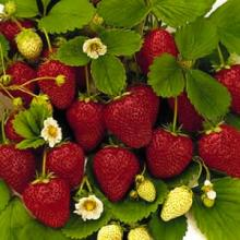 Time strawberries to bloom just after apples for better harvest