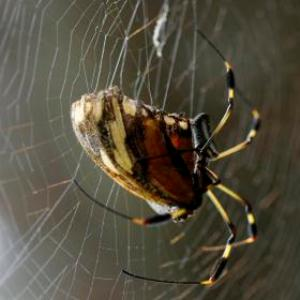 Fitness is important among spiders to have sex