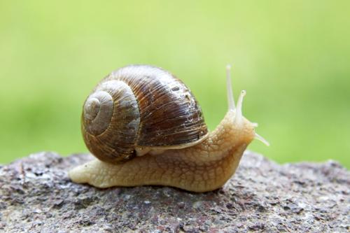 The Everyday Animal Garden Snail