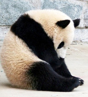 the legend of the giant panda man Giant panda tails, which are between 4–6 in (10–15 cm) in length, are the second longest of all species in the bear family  according to legend, the panda was .
