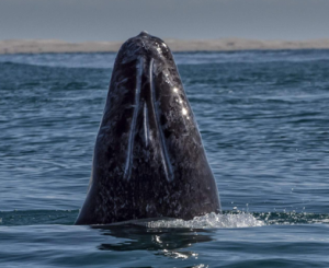 Canadian tourist killed by whale in Mexico, 2 injured