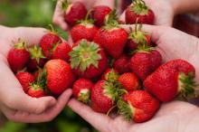 Strawberry lovers...all is not well with your favorite fruit