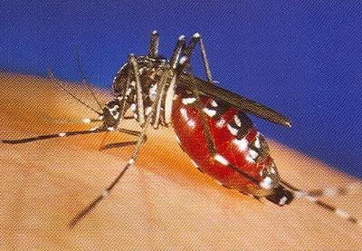Cum de nu se îmbolnăvesc ţânţarii care transmit viruşi ucigători?