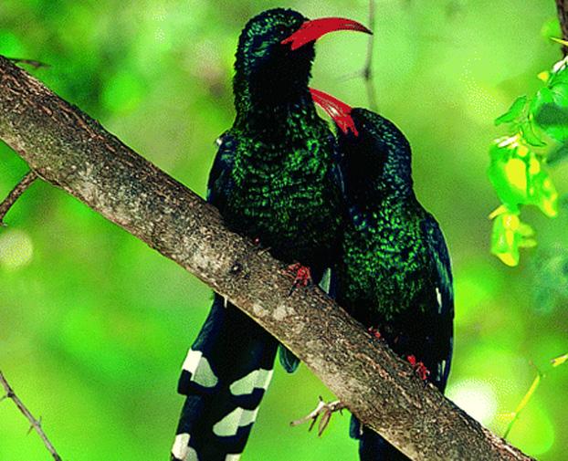 Смотрите в голоса хищных птиц