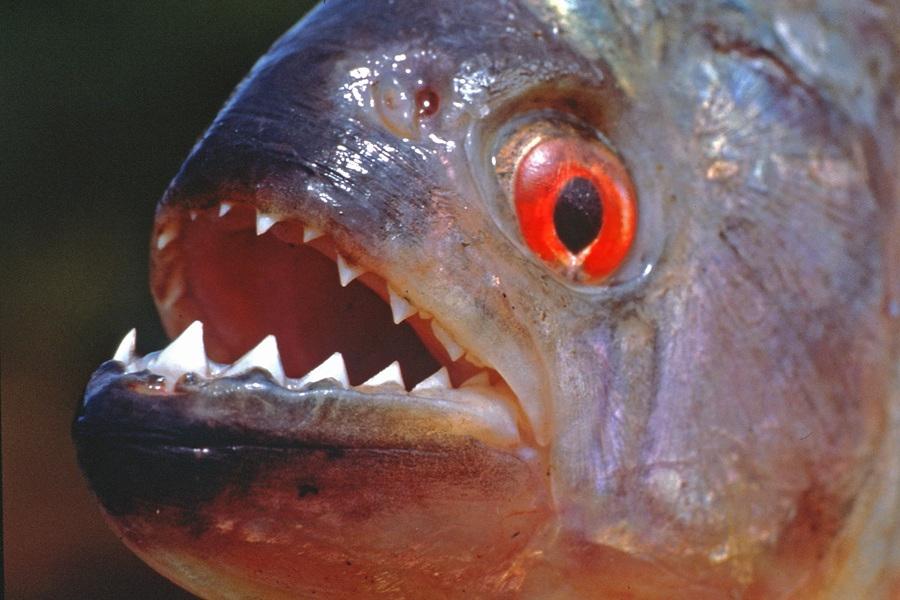 Piranha's bite most powerful among fishes
